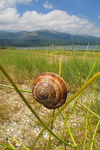 Turkish / Balkan edible snail (Helix lucorum) on plant, Stenje region, Lake Macro Prespa, Galicica National Park, Macedonia, June 2009 - Wild Wonders of Europe / Maitland