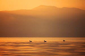 Three Great white pelicans (Pelecanus onocrotalus) silhouetted against the sunrise over Mount Golema (2179m) and Mount Pelister (2600m ) in the Pelister National Park, viewed from Stenje village acros...  -  Wild Wonders of Europe / Maitland