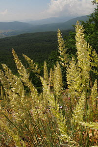 Mountain pasture with Golden oat grass (Trisetum flavescens) and oak forest above Stenje village, west shore of Lake Macro Prespa, view south towards Albania, Galicica National Park, Macedonia, June 2...  -  Wild Wonders of Europe / Maitland