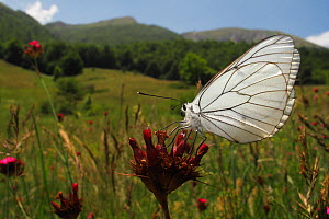Black veined white butterfly (Aporia crataegi) on Carthusian pink (Dianthus carthusianorum) in a mountain pasture, Stenje region, Galicica National Park, Macedonia, June 2009  -  Wild Wonders of Europe / Maitland