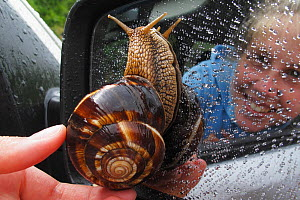 Turkish / Balkan edible snail (Helix lucorum) on car wing mirror with person taking it off, Stenje region, Galicica National Park, Macedonia, June 2009, Model released  -  Wild Wonders of Europe / Maitland