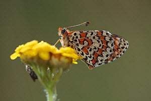 Spotted fritillary butterfly (Melitaea didyma) on flower, Mount Baba, Galicica National Park, Macedonia, June 2009  -  Wild Wonders of Europe / Maitland