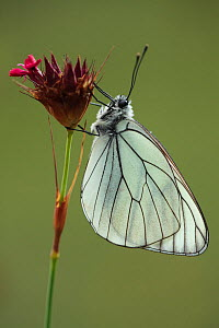 Black veined white butterfly (Aporia crataegi) on Pink (Dianthus sp) flower, Mount Baba, Galicica National Park, Macedonia, June 2009  -  Wild Wonders of Europe / Maitland
