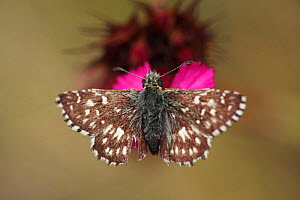 Grizzled skipper butterfly (Pyrgus malvae) feeding on Pink (Dianthus sp) flower, Mount Baba, Galicica National Park, Macedonia, June 2009 - Wild Wonders of Europe / Maitland