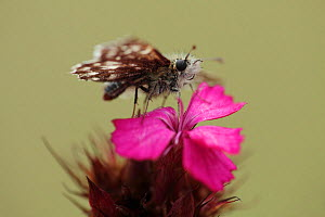Grizzled skipper butterfly (Pyrgus malvae) on Pink (Dianthus sp) flower, Mount Baba, Galicica National Park, Macedonia, June 2009 - Wild Wonders of Europe / Maitland