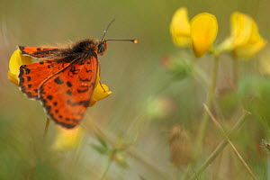 Spotted fritillary butterfly (Melitaea didyma) on Trefoil (Lotus sp) flowers, Mount Baba, Galicica National Park, Macedonia, June 2009  -  Wild Wonders of Europe / Maitland