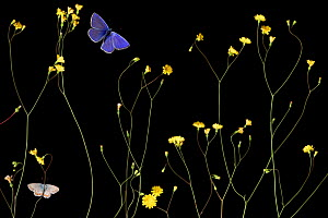 Nipplewort (Lapsana communis) in flower with Escher�s blue butterfly (Polyommatus escheri) and Silver-studded blue (Plebejus argus) Stenje region, Galicica National Park, Macedonia, June 2009, dead in...  -  Wild Wonders of Europe / Maitland