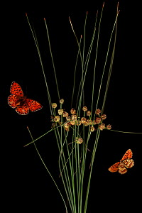 Round headed club rush (Scirpus holoschoenus) with Heath fritillary butterfly (Melitaea athalia) and Niobe fritillary butterfly (Argynnis niobe var eris) Stenje region, Galicica National Park, Macedon... - Wild Wonders of Europe / Maitland