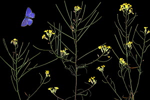 Hoary mustard (Hirschfeldia incana) in flower and an Escher�s blue butterfly (Polyommatus escheri) Stenje region, Galicica National Park, Macedonia, June 2009, dead insects and plants placed directly...  -  Wild Wonders of Europe / Maitland