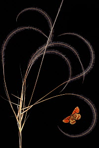 European feather grass (Stipa pennata) with Heath fritillary butterfly (Melitaea athalia) Stenje region, Galicica National Park, Macedonia, June 2009, dead insects and plants placed directly on scanne... - Wild Wonders of Europe / Maitland