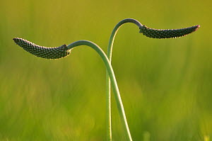Two Plantain (Plantago sp) seed heads, Poland, May 2009 - Wild Wonders of Europe / López