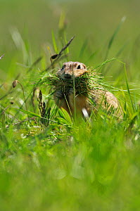 Spotted souslik (Spermophilus suslicus) carrying grass, Werbkowice, Zamosc, Poland, May 2009 - Wild Wonders of Europe / López