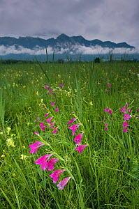 Gladiolus (Gladiolus sp) plants flowering in meadow, Liechtenstein, June 2009 - Wild Wonders of Europe / Giesbers
