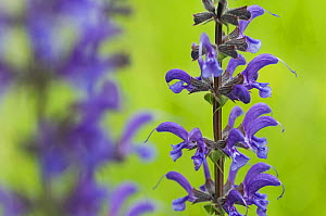 Meadow clary (Salvia pratensis) in flower, Liechtenstein, June 2009  -  Wild Wonders of Europe / Giesbers