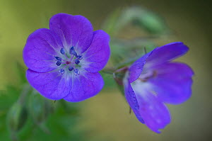 Two Wood cranesbill (Geranium sylvaticum) flowers, Liechtenstein, June 2009  -  Wild Wonders of Europe / Giesbers