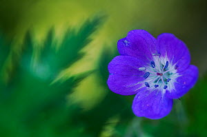 Wood cranesbill (Geranium sylvaticum) flower, Liechtenstein, June 2009  -  Wild Wonders of Europe / Giesbers