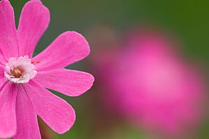 Red campion (Silene dioica) flower, Liechtenstein, June 2009  -  Wild Wonders of Europe / Giesbers
