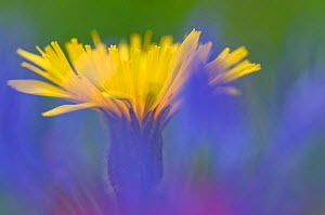Swiss hawkbit (Leontodon helveticus) in flower, Liechtenstein, June 2009  -  Wild Wonders of Europe / Giesbers