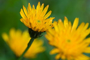 Rough hawkbit (Leontodon hispidus) flowers, Liechtenstein, June 2009  -  Wild Wonders of Europe / Giesbers