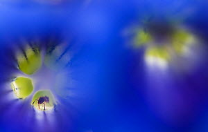Stemless gentian (Gentiana clusii) flowers, an ant in one of them, Liechtenstein, June 2009. HIGHLY COMMENDED - Wildlife Photographer of the Year 2010.  -  Wild Wonders of Europe / Giesber