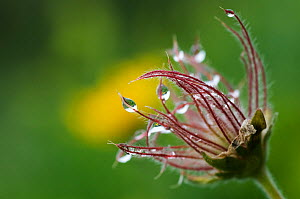 Pasque flower (Pulsatilla sp) seedhead with water droplets on it, Liechtenstein, June 2009 - Wild Wonders of Europe / Giesbers
