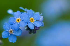 Alpine forget-me-not (Myosotis asiatica) in flower, Liechtenstein, June 2009  -  Wild Wonders of Europe / Giesbers