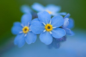 Alpine forget-me-not (Myosotis asiatica) flowers, Liechtenstein, June 2009  -  Wild Wonders of Europe / Giesbers