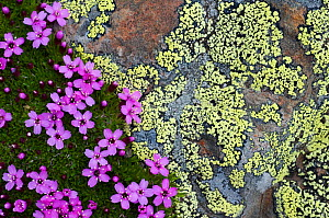 Moss campion (Silene acaulis) in flower growing on rock, Liechtenstein, June 2009 - Wild Wonders of Europe / Giesbers