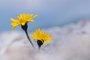 Two Rough hawkbit (Leontodon hispidus) flowers, Liechtenstein, June 2009 - Wild Wonders of Europe / Giesbers