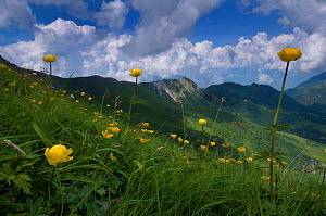 Globeflowers (Trollius europaeus) flowering, Liechtenstein, June 2009 - Wild Wonders of Europe / Giesbers