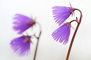 RF- Two Alpine snowbell (Soldanella alpina) flowers, Liechtenstein. June. (This image may be licensed either as rights managed or royalty free.)  -  Wild  Wonders of Europe / Giesbers