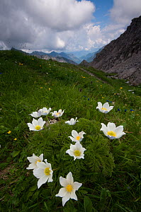 Alpine pasqueflowers (Pulsatilla alpina) in flower, Liechtenstein, June 2009  -  Wild Wonders of Europe / Giesbers