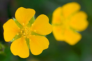 Two Potentilla brauneana flowers, Liechtenstein, June 2009  -  Wild Wonders of Europe / Giesbers