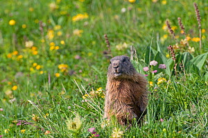 Alpine marmot (Marmota marmota) alert amongst flowers, Liechtenstein, June 2009  -  Wild Wonders of Europe / Giesbers