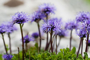 Globe daisy (Globularia cordifolia) flowers, Liechtenstein, June 2009 - Wild Wonders of Europe / Giesbers