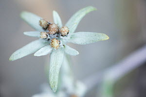 Edelweiss (Leontopodium alpinum) flower, Liechtenstein, July 2009  -  Wild Wonders of Europe / Giesbers