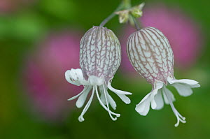 Bladder campion (Silene vulgaris glareosa) flowers, Liechtenstein, July 2009 - Wild Wonders of Europe / Giesbers