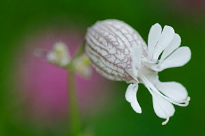 Bladder campion (Silene vulgaris glareosa) flower, Liechtenstein, July 2009  -  Wild Wonders of Europe / Giesbers