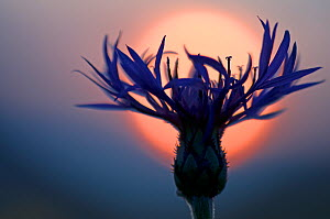 Mountain cornflower (Centaurea montana) with the sun behind it, Liechtenstein, July 2009 - Wild Wonders of Europe / Giesbers