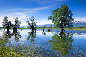 Trees, mainly White willow (Salix alba) in flooded karst plateau, Livanjsko Polje, Bosnia and Herzegovina, May 2009  -  Wild Wonders of Europe / della Ferrera