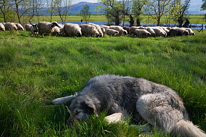 Tornjak mountain sheep dog resting near herd of sheep in a partially flooded area, Livanjsko Polje (karst plateau) Bosnia and Herzegovina, May 2009  -  Wild Wonders of Europe / della Ferrera