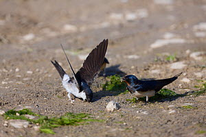 House martin (Delichon urbicum) and a Swallow (Hirundo rustica) collecting mud to build nests, Neretva river delta, Dalmatia region, Croatia, May 2009  -  Wild Wonders of Europe / della Ferrera