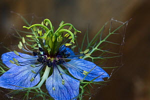 Love-in-a-mist (Nigella damascena) in flower, Hutovo Blato Nature Park, Bosnia and Herzegovina, May 2009 - Wild Wonders of Europe / della Ferrera