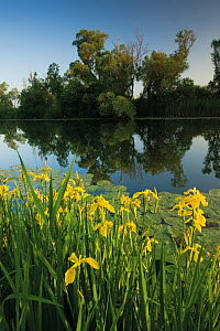 Yellow flag iris (Iris pseudacorus) flowers and Yellow water lily (Nuphar lutea) leaves on water, with White willow (Salix alba) trees along a channel in the Hutovo Blato Nature Park, Bosnia and Herze...  -  Wild Wonders of Europe / della Ferrera