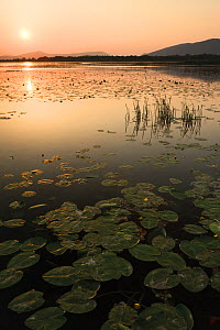Yellow water lilies (Nuphar lutea) and White water lilies (Nymphaea alba) on Deransko Lake at sunset, Hutovo Blato Nature Park, Bosnia and Herzegovina, May 2009 - Wild Wonders of Europe / della Ferrera