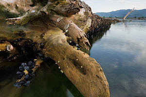Fallen White willow (Salix alba) in the sea, with Mussels (Mytilus sp) and Limpets (Patella sp) on trunk, Adriatic sea in the Neretljanski kanal, mouth of the Neretva river delta, Dalmatia region, Cro... - Wild Wonders of Europe / della Ferrera