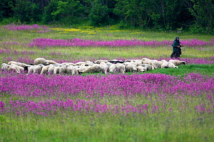 Herd of sheep with an old lady sheperd in a meadow of flowering Sticky catchfly (Silene viscaria) near the village of Gubin, Livanjsko Polje, Bosnia and Herzegovina, May 2009  -  Wild Wonders of Europe / della Ferrera