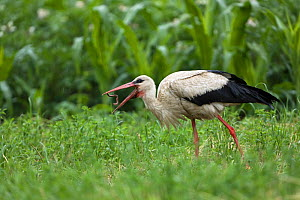 White stork (Ciconia ciconia) throwing Earthworm (Lumbricus sp) into air before feeding, Near Drenov Bok village, Lonjsko Polje Nature Park, Sisack-Moslavina county, Slavonia region, Posavina area, Cr...  -  Wild Wonders of Europe / della Ferrera