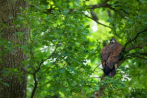 Juvenile White tailed eagle (Haliaeetus albicilla) in an Slovenian / Common oak (Quercus robur) forest, Lonjsko Polje Nature Park, Ramsar Site, Sisack-Moslavina county, Slavonia region, Posavina area,...  -  Wild Wonders of Europe / della Ferrera