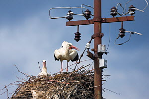 White stork (Ciconia ciconia) pair on nest, Jasenovac village, Lonjsko Polje Nature Park, Sisack-Moslavina county, Slavonia region, Posavina area, Croatia, June 2009  -  Wild Wonders of Europe / della Ferrera